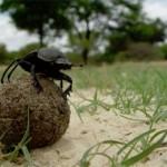 gândacul de bălegar